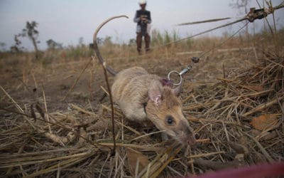 Oh Rats! – And the Work they do in Cambodia