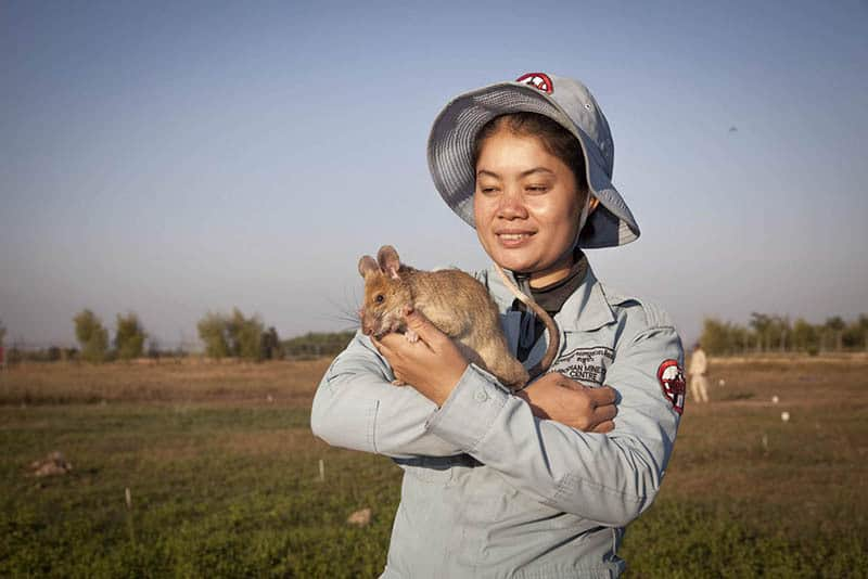 APOPO de-mining hero rat with female trainer standing in a field